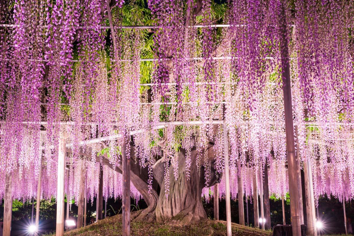 باغ کاواچی فوجی ژاپن
